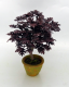 Specimen Purple Leaf Japanese Maple